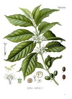 coffee leaves - Google Search