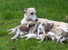 Whippet Puppies How to find a Whippets are good for both homes with yards and apartments. Beware, they think they are royal and you are the servant, but you'll get plenty of love. Italian Greyhound Puppies, Whippet Puppies, Greyhound Art, Whippets, Hound Breeds, Dog Breeds, Cute Puppies, Cute Dogs, Funny Dogs