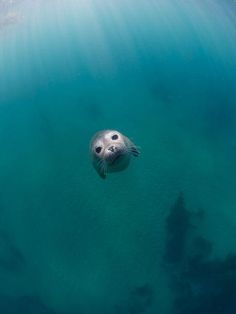 Seal pup coming straight at my camera Photo by K. Yamamoto -- National Geographic Your Shot Cute Creatures, Beautiful Creatures, Animals Beautiful, Seal Pup, Baby Seal, Cute Baby Animals, Animals And Pets, Funny Animals, Animals Sea