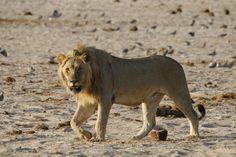 Uk Trip, Wildlife Photography, Safari, Lion, National Parks, September, Travel, Animals, Instagram