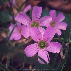 Winter blooms   #5uryagraphy  . .  Nj's Photography . .  Tags :#India #pune #puneinstagrammers #nature #flower #flowers #bloom #winter #pink  #natgeo #nationalgeographic #natgeotravel #natgeocreative #IAmNikon #nikon #xiaomi #travel #traveltales #picoftheday #love #redmi3 #maharashtra_ig #india_gram #igers #indiagram