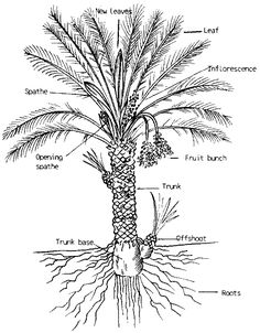 Diagram of Date Palm Tree. The Date Palm, specifically the Medjool Date Palm creates offshoots in order to propagate new palms.