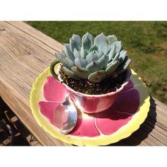 Succulent in a tea pot