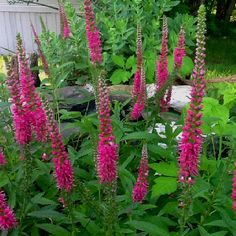 images about LandscapePerennials Flowers for