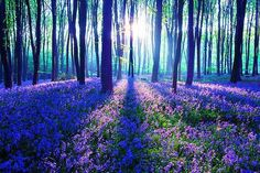 Purple Haze, The Black Forest, Germany.