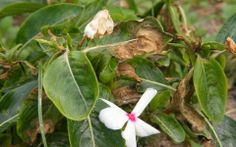 A fungus is to blame for the damage on these vincas. Remove infected plants and treat the area to prevent the spread of the fungus.