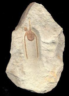 Ampyx priscus:  Ordovician  Formation:  Tanssikhte Deposits:  Zagora, Morocco