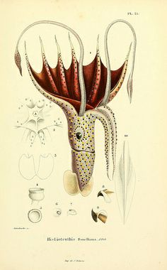 Mollusques vivants et fossiles. Atlas.