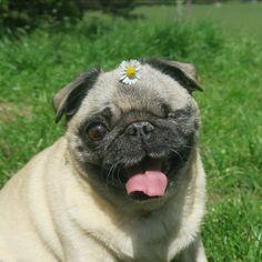Puga-chan!  #maya #pug #cutiepiemarzia #PewdiePie #cute #picnic #YouTubers #marzia #bisognin #felix #kjellberg