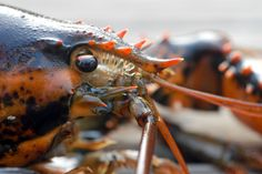 lobster head - Google Search Lobster Costume, Shrimp, Lobsters, Animals, Google Search, Animales, Animaux, Animal, Animais
