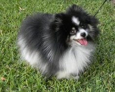 Bilbo is an adoptable Pomeranian Dog in Lake Jackson, TX. Bilbo was a stray, with a badly matted coat, but he is now clean and brushed and ready to go home. He is a very laid back little boy, not over...