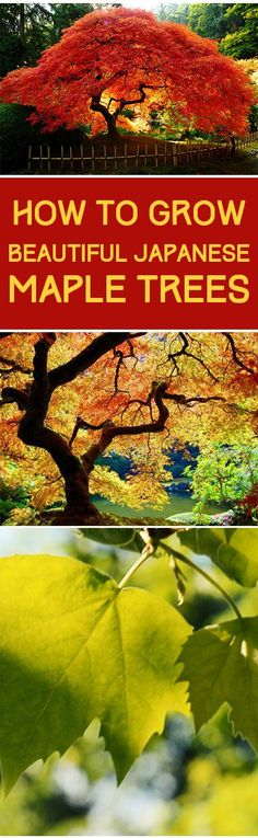 Japanese maple trees, japanese maple tree growing tips, tree growing tips, landscaping, yard and landscape inspiration, popular pin.