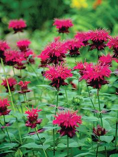 "I love the variety in this garden plan.  This Monarda Raspberry Wine Bee Balm is sweet!  Erect stems support uniquely shaped berry red tubular flowers with wine highlights.  Large leaved, mildew resistant. A carefree strong grower. Exquisite when paired with Achillea or Russian Sage.   Height: Medium 30"" / Plant 14-18"" apart  Bloom Time: Early Summer to Early Fall   Sun-Shade: Full Sun to Half Sun/ Half Shade   Zones: 4- 9     Soil Condition: Normal, Clay   Flower Color / Accent: Rose / Red"