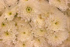 Multi-headed spray double euro white chrysanthemums at New Covent Garden Flower Market