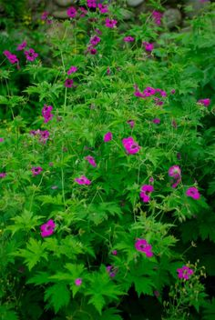 Geranium psilostemon - hard to say but easy to grow. Great colors but a bit floppy. Tuck it between sturdy plants to lend support. I have no idea why I love this plant but I always have .