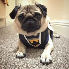 When your harness increases your superhero power 100%  #puglife - thanks so much to @theverydistinguishedpugcompany for the amazing harness!