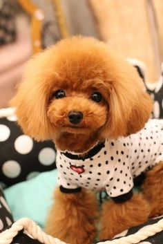 My grandparents always had teacup poodles! They had a little red one who looked just like this one; her name was Megan. :)