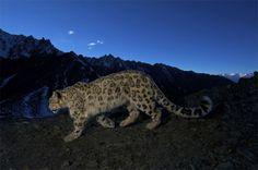 Fotografiando la vida salvaje con Steve Winter - Leopardo de las nieves