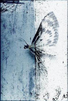 Insect art - Insect photography - Home decor - Papillon Nocturne - Fine art… Insect Photography, Art Photography, Art Beauté, Color Celeste, Insect Art, Butterfly Art, Butterflies, Nocturne, Art Plastique