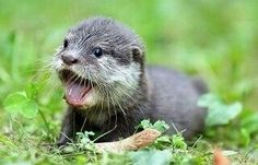 Baby Otter