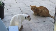 Cats' Chorus: Izzy meets a new neighbour for the first time. The trouble is she only speaks Siamese and the little ginger chap is a Devonian.