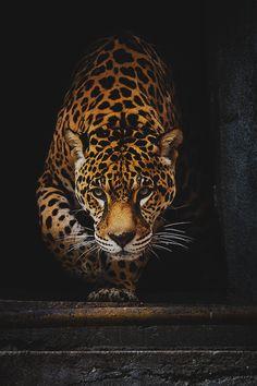 "worldfam0us: ""Jaguar | WF"""