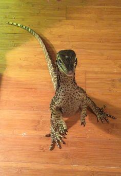 azzventura: The raptors are here… - Dragon Inspiration Les Reptiles, Cute Reptiles, Reptiles And Amphibians, Mammals, Cute Funny Animals, Cute Baby Animals, Nature Animals, Animals And Pets, Cute Lizard