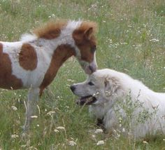 This might just be the most adorbale thing I've ever seen. Mini horse (looks like) kissing his Great Pyrenees!