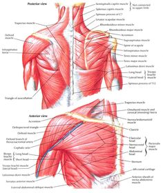 posterior view of the shoulder anatomy pinterest. Black Bedroom Furniture Sets. Home Design Ideas