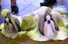 Shih Tzu – Affectionate and Playful
