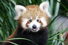 red panda bears | am pretty sure Pemba the Baby Red Panda will star in a new Disney or ...