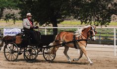 Haflinger mare, Lana 4Wh, driven by K. Fetherston at the Tejon Ranch Pleasure Carriage Driving show, June 2013.  Photo by Marc Delio.