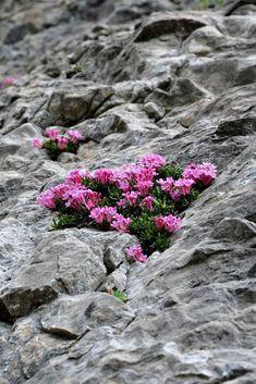DAPHNE PETRAEA (Dafne delle rupi. Felsen-Seidelbast. Daphné des rochers). Thymelaeaceae Rock Garden Plants, Beautiful Gardens, Beautiful Flowers, Alpine Flowers, Alpine Plants, Alpine Garden, Bella, Rock Flowers, Wild Flowers