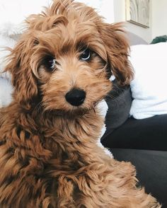 Omg the cutest little goldendoodle! Cute Baby Animals, Animals And Pets, Funny Animals, Cute Dogs And Puppies, Doggies, Cute Creatures, Dog Mom, Animals Beautiful, Dog Breeds