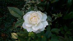 Rose am Wegesrand. #Nordfriedhof #Wiesbaden #Seelennahrung #ratna #Maitriart