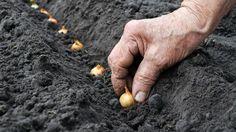 """Când se plantează legumele în grădină - calendarul pentru plantarea răsadurilor sau direct a semințelor, un instrument ce nu trebuie să lipsească din """"portofoliul"""" micilor fermierilor și"""