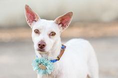 Paloma is an adoptable terrier searching for a forever family near New York, NY. Use Petfinder to find adoptable pets in your area.