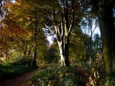 Cotswold Walks: Autumn in beech woodland in the Cotswolds