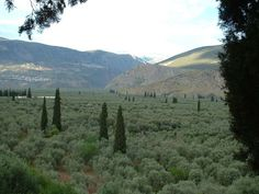 The olive grove of Amfissa, which consists of 1,200,000 olive trees is a part of a protected natural landscape.