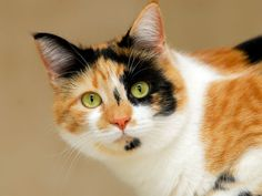 I got: Calico: Creative and Colorful! What Is Your Cat Personality?