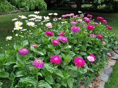 Benary Giant Zinnia… best flower ever! A must for cutting gardens! Benary's Giant Zinnia, cut flower garden, victoriaelizabeth… Zinnia Garden, Cut Flower Garden, Garden Plants, Flower Pots, Nice Flower, Fence Garden, Flower Gardening, Front Porch Flowers, Garden Pictures