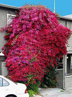 more purple bougainvillea fab purple flowers shrubs. Black Bedroom Furniture Sets. Home Design Ideas