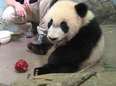 Bei Bei Panda (@houseofcubs) | Твиттер