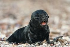 New born cape fur seal pup by wildlife and conservation photographer Peter Chadwick - Namaqua National Park