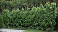 Beautiful Pear Espalier!! Must be a lot of work to train this way?