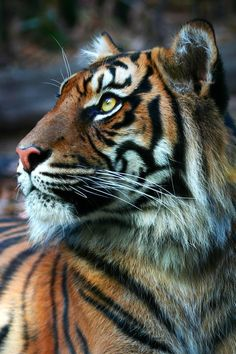 Sumatran Tiger - Katzen - Home I Love Cats, Big Cats, Cats And Kittens, Animals And Pets, Nature Animals, Cute Animals, Royal Animals, Wild Animals, Baby Animals