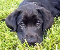 black lab puppy - hope to one day have a dog like this