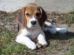 I finally have my Beagle! Please welcome Franky on Pinterest, he's so cute! #Beagle
