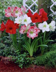 May you have a beautiful morning just like these flowers! Garden Trees, Flowers Garden, Garden Plants, House Plants, Flower Pots, Planting Flowers, Bulb Flowers, Beautiful Flowers, Acid Loving Plants