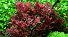 Rotala macrandra, my favorite red plant.  Easy to grow, but needs plenty of good light.